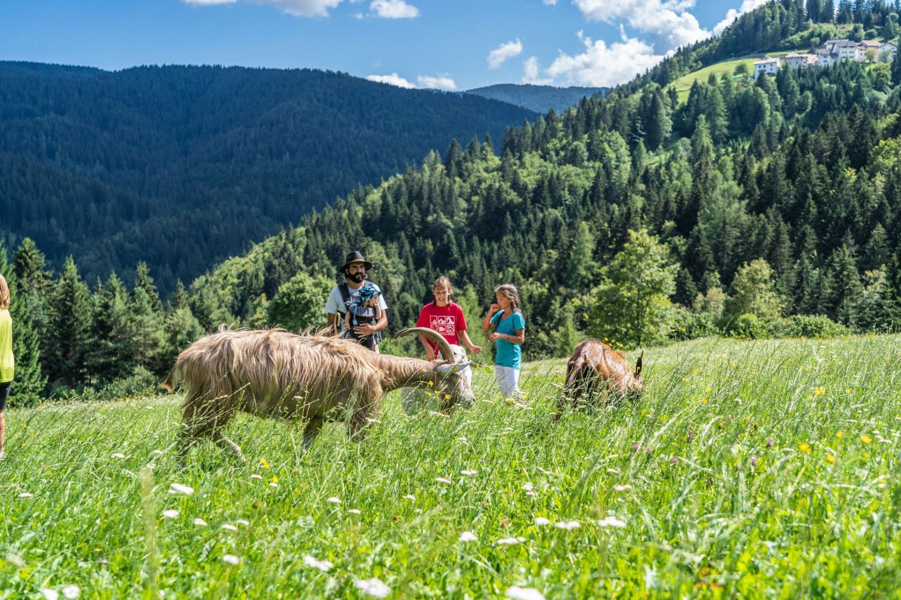 Trekking con le caprette sull'Alpe Cimbra